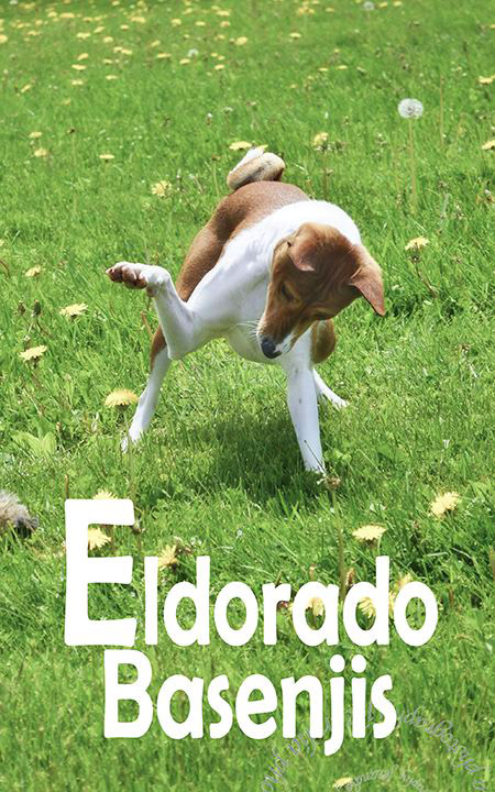 Playful Basenji introduces Eldorado Basennjisl